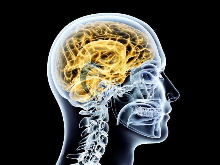 Menschliches Gehirn Anatomie Transparent